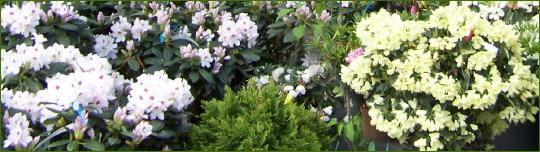 sie sind hier startseite unser verkauf zierstr ucher rhododendren. Black Bedroom Furniture Sets. Home Design Ideas